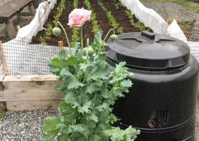 Poppy Growing From a Composter